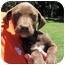 Photo 4 - Labrador Retriever Mix Puppy for adoption in Mahwah, New Jersey - Cinnamon