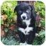 Photo 2 - Border Collie/Newfoundland Mix Puppy for adoption in Santa ana, California - PIXIE