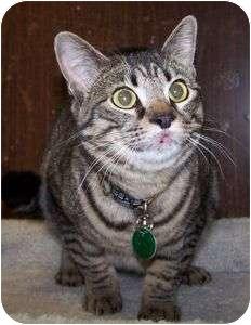 Domestic Shorthair Cat for adoption in Colorado Springs, Colorado - Teejay