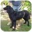 Photo 2 - Newfoundland Dog for adoption in Caledon, Ontario - Maggie