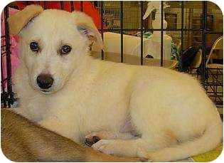 German Shepherd Dog Mix Puppy for adoption in Lucerne Valley, California - 2 pups