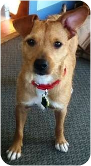 Fox Terrier (Wirehaired) Mix Dog for adoption in Portsmouth, Rhode Island - Moe-local!