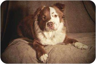 Border Collie Mix Dog for adoption in Rochester, New York - Riley *courtesy listing*