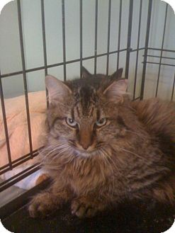 Maine Coon Kitten for adoption in Monroe, Georgia - Deacon