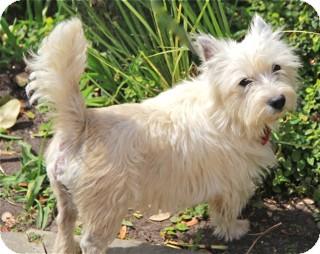 Westie, West Highland White Terrier Mix Dog for adoption in Norwalk, Connecticut - Macintosh - adoption pending