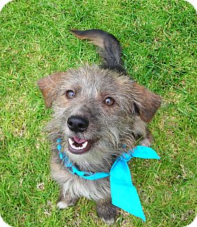 Terrier (Unknown Type, Small) Mix Dog for adoption in El Cajon, California - Hutch