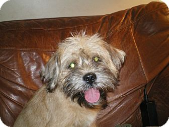 Cairn Terrier/Pekingese Mix Puppy for adoption in Apex, North Carolina - Kirby