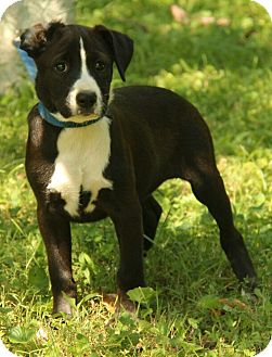 Border Collie Mix Puppy for adoption in Spring Valley, New York - Wylie (In New England)