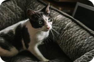 Domestic Shorthair Cat for adoption in Hazel Park, Michigan - RoseMary