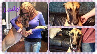 Great Dane Dog for adoption in DOVER, Ohio - Lady