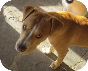 Pit Bull Terrier/Labrador Retriever Mix Dog for adoption in Santa Fe, New Mexico - Kensi