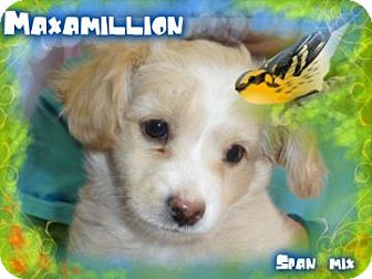 Spaniel (Unknown Type) Mix Puppy for adoption in Desert Hot Springs, California - Maxamillion