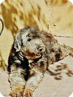 Bouvier des Flandres/English Sheepdog Mix Dog for adoption in Irvine, California - MADELINE