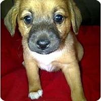 Adopt A Pet :: Sam - Arlington, TX