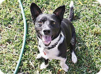 Corgi/Border Collie Mix Dog for adoption in Bellflower, California - Jackson - 23 lbs!