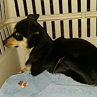 Chihuahua Dog for adoption in Columbia, Tennessee - TRI CHI/TX