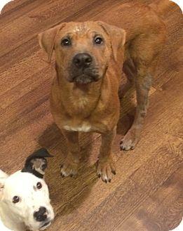 Labrador Retriever Mix Dog for adoption in Chicago, Illinois - Rugger