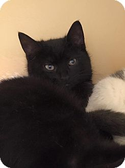 Domestic Shorthair Kitten for adoption in Long Beach, New York - Mick