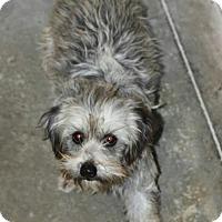 Adopt A Pet :: Silver -NON SHED - Phoenix, AZ