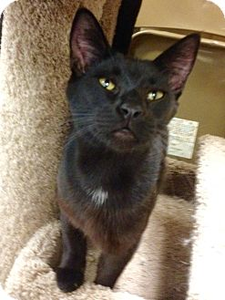 Domestic Shorthair Cat for adoption in San Leandro, California - Tookie