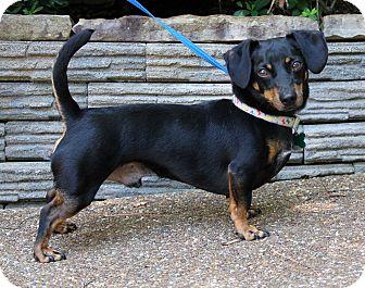 Dachshund Dog for adoption in Chicago, Illinois - PICKLES