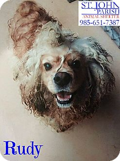 Cocker Spaniel Dog for adoption in Laplace, Louisiana - Rudy
