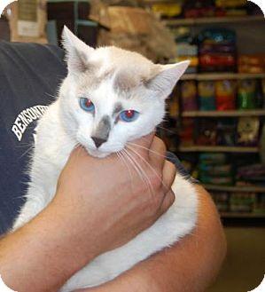 Domestic Shorthair Cat for adoption in Brooklyn, New York - Blue Eyes