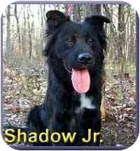 Border Collie/Retriever (Unknown Type) Mix Dog for adoption in Aldie, Virginia - Shadow, Jr.
