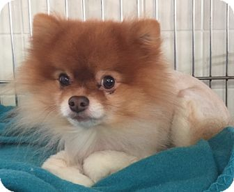 Pomeranian Dog for adoption in Kansas City, Missouri - Toby