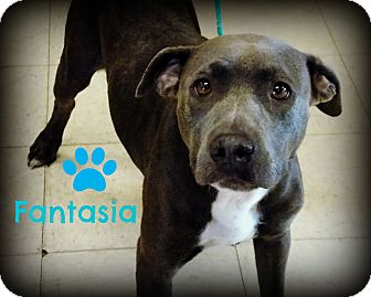 Pit Bull Terrier Mix Dog for adoption in Defiance, Ohio - Fantasia