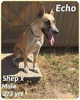 Shepherd (Unknown Type) Mix Dog for adoption in DeForest, Wisconsin - Echo