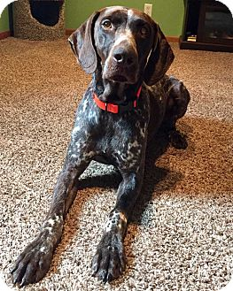 German Shorthaired Pointer Mix Dog for adoption in Minneapolis, Minnesota - Diesel