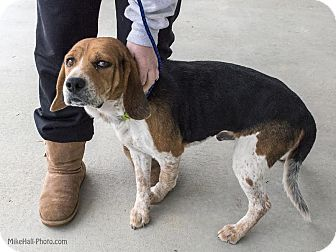 Beagle Mix Dog for adoption in Minneapolis, Minnesota - Phineas