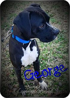 Boxer Dog for adoption in Middleton, Wisconsin - George