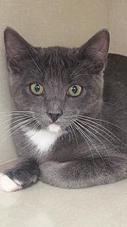 Domestic Shorthair Cat for adoption in Walnut Creek, California - Scout