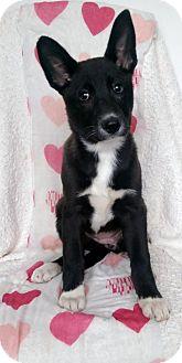 Husky/Australian Shepherd Mix Puppy for adoption in Newark, Delaware - Ivy