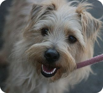 Terrier (Unknown Type, Small) Mix Dog for adoption in Canoga Park, California - Tony
