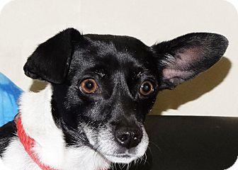Chihuahua Mix Dog for adoption in Spokane, Washington - Trixie