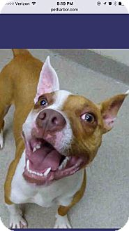 Pit Bull Terrier Mix Puppy for adoption in Fort Wayne, Indiana - Felicia