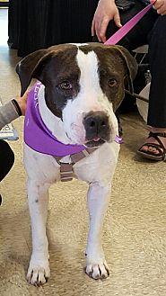 Pit Bull Terrier Mix Dog for adoption in Surprise, Arizona - Noel