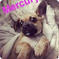 Adopt A Pet :: Mercury - Austin, TX