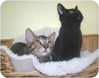 Domestic Shorthair Kitten for adoption in Haughton, Louisiana - Teddy and Spooky