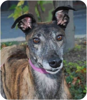Greyhound Dog for adoption in Ware, Massachusetts - Keely