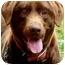Photo 3 - Labrador Retriever Dog for adoption in Pawling, New York - HERSHEY