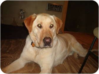 Labrador Retriever Dog for adoption in North Jackson, Ohio - Jake