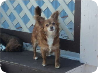 Chihuahua Mix Dog for adoption in Morgan Hill, California - Stray - Red