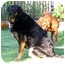 Photo 2 - Rottweiler/Labrador Retriever Mix Dog for adoption in Phoenix, Arizona - HERSHEY
