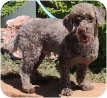 Poodle (Miniature) Mix Dog for adoption in Gilbert, Arizona - Pierre
