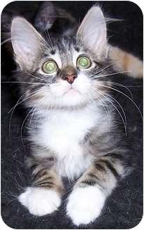 Domestic Mediumhair Kitten for adoption in Oklahoma City, Oklahoma - Anton