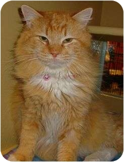 Domestic Longhair Cat for adoption in Ogden, Utah - Rango
